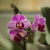 орхидея :: Сергей Белко