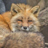 Рыжая лиса. :: аркадий