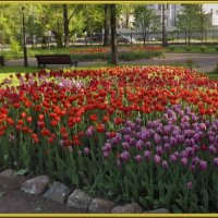 Это море тюльпанов безбрежное... :: Нина Андронова
