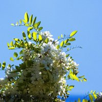 Белой акации гроздья  душистые :: Валентин Семчишин