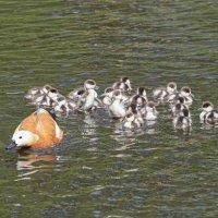 Мать-героиня и ее 20 малышей... :: Anatoley Lunov