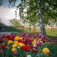 Тюльпаны на набережной :: Елена Берсенёва