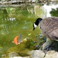 Золотая рыбка. :: Фотокритикулька