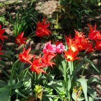 Ростовские тюльпаны :: Нина Бутко