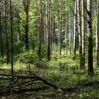 Еще прозрачен лес :: Галина Кан