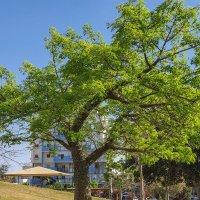 Бутылочное дерево :: Александра