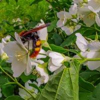 огромная пчела :: жанна janna
