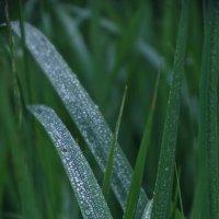 Серебряные травы :: Елена Макарова
