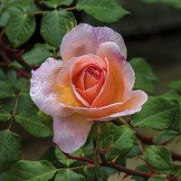 Роза после дождя :: Валентин Семчишин