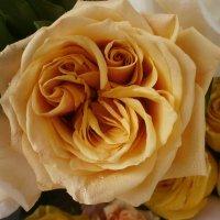 PRO розу..... :: Алёна Савина