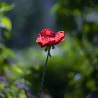 poppy :: Zinovi Seniak