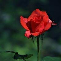 Алая роза :: Елена Макарова