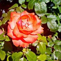 Июльская роза Фото №1 :: Владимир Бровко