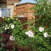 Гибискус травянистый – многолетний роскошный кустарник, с крупными цветами и большими листьями :: Татьяна Смоляниченко