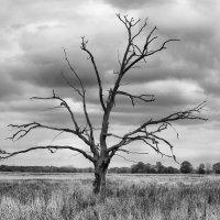 классическое сухое дерево :: Pavel Stolyar