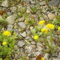 Цветы в камнях... :: aksakal88