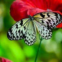 Бабочка. :: Edward J.Berelet