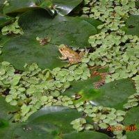 царевна лягушка :: марк шайман