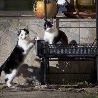 монастырские кошки :: максим веселов