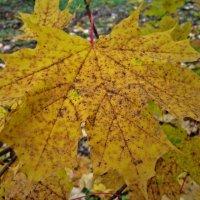 Осенний лист :: Павел Зюзин