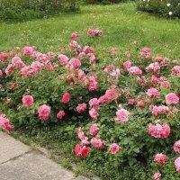 Розы в Ботаническом саду. 2 :: Nonna