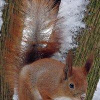 Winter Squirrel :: Roman Ilnytskyi