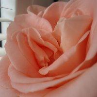 Роза у окна :: Christina Batovskaya