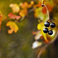 Осенние ягодки :: Юрий Клишин
