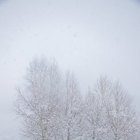 Березки в снегу :: Роман Приходько