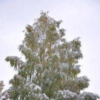 Белая берёза :: Светлана