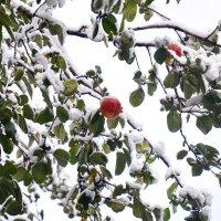Яблоки в снегу :: Светлана