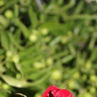 Роза :: Лида Подволоцкая