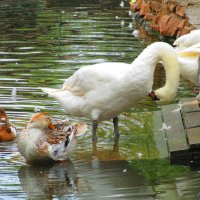 Утки-лебеди :: Marina Timoveewa