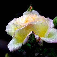Роза. :: Anna Fox