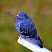 одинокий голубь :: Светлана