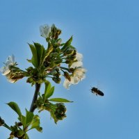 Пчёлка и нектар :: Константин Фролов