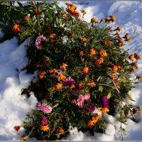 Замерзают в саду  цветы :: galina tihonova