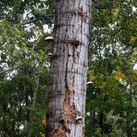 грибы на дереве :: Ирина Киямова