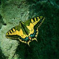 Бабочка :: Виктор Осипчук