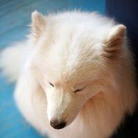 Белая лисичка :: Skella