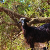 Марокканская коза :: Андрей Сафронов