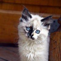 Голубоглазое чудо... :: Олеся
