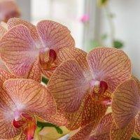 орхидея :: Виктория грёZы