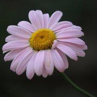 Цветок :: Екатерина Краева