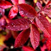 Капельки осеннего дождя :: Александр Велигура