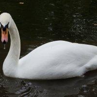 Белый лебедь :: Михаил Груздев