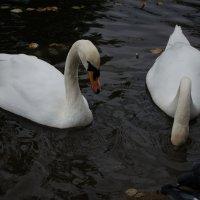 Два белых лебедя :: Михаил Груздев