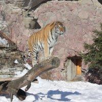 Тигр на бревне :: Дмитрий Сушкин