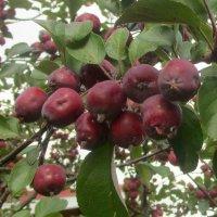 Райские яблоки :: Ольга Довженко