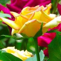 Роза :: Николай